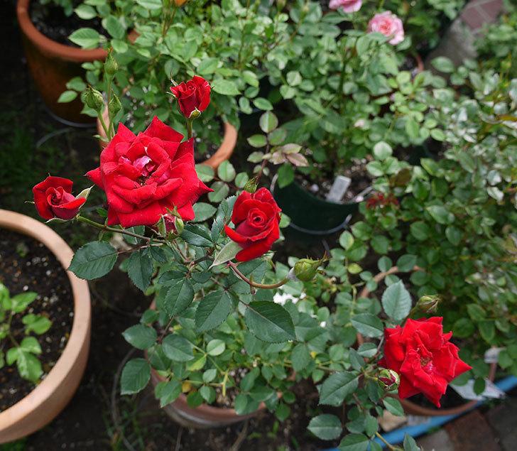 カリエンテ(ミニバラ)の2番花が増えてきた。2017年-2.jpg