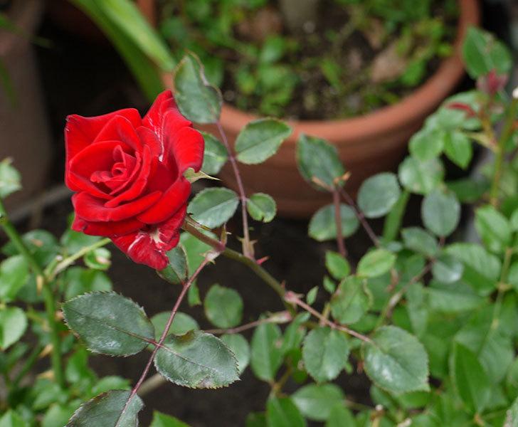 カリエンテ(ミニバラ)の2番花が綺麗に咲いた。2016年-3.jpg