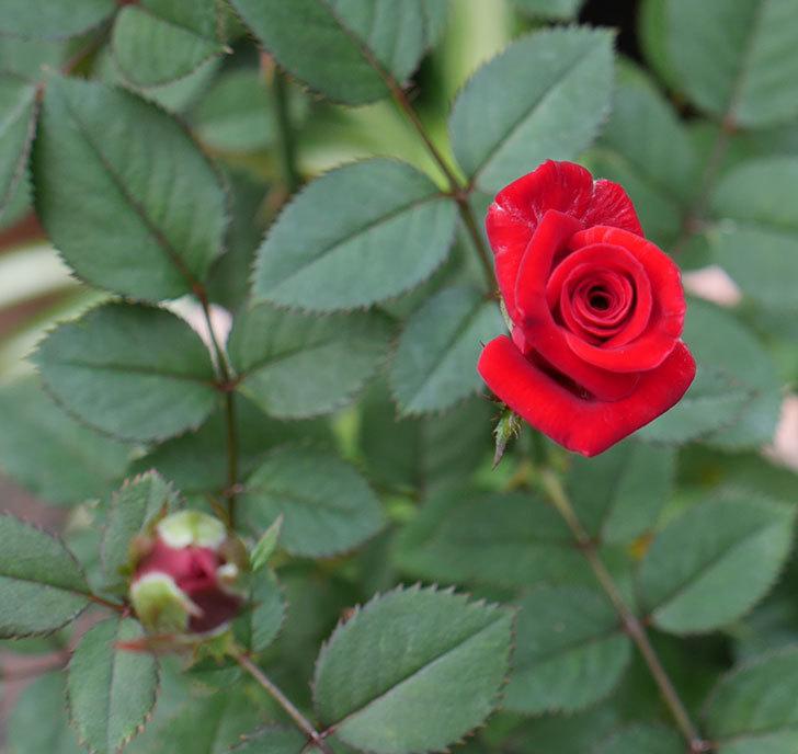カリエンテ(ミニバラ)の3番花が咲いた。2018年-1.jpg