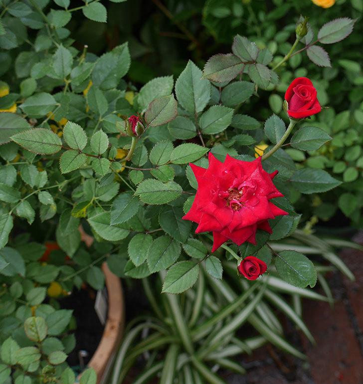 カリエンテ(ミニバラ)の3番花が咲いた。2018年-3.jpg