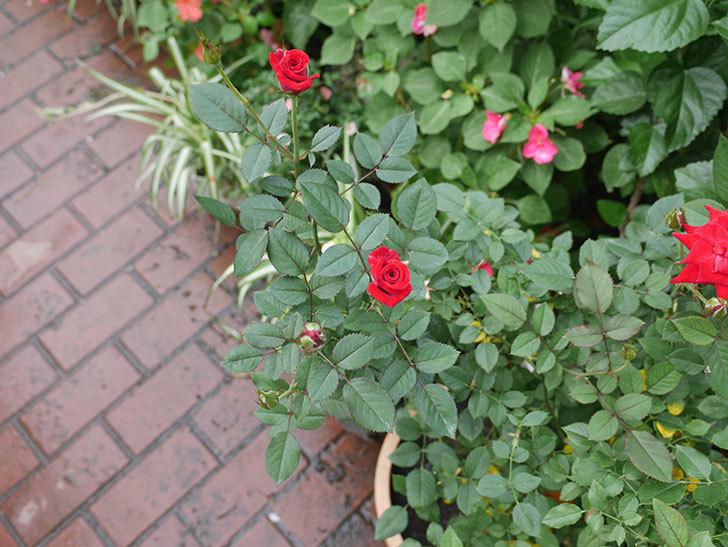 カリエンテ(ミニバラ)の3番花が咲いた。2018年-4.jpg