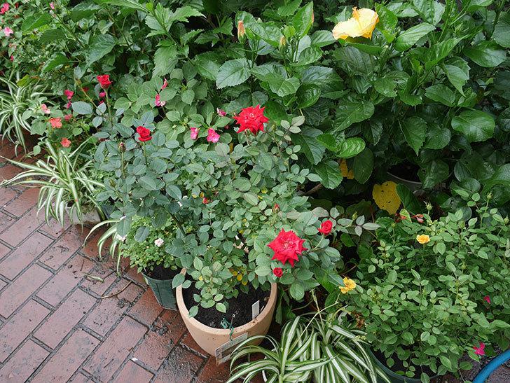 カリエンテ(ミニバラ)の3番花が咲いた。2018年-7.jpg