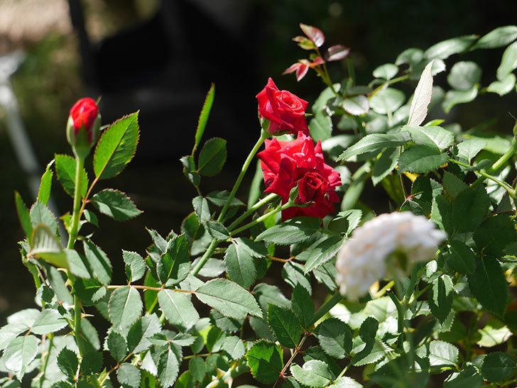 カリエンテ(ミニバラ)の夏花が咲いた。2018年-3.jpg