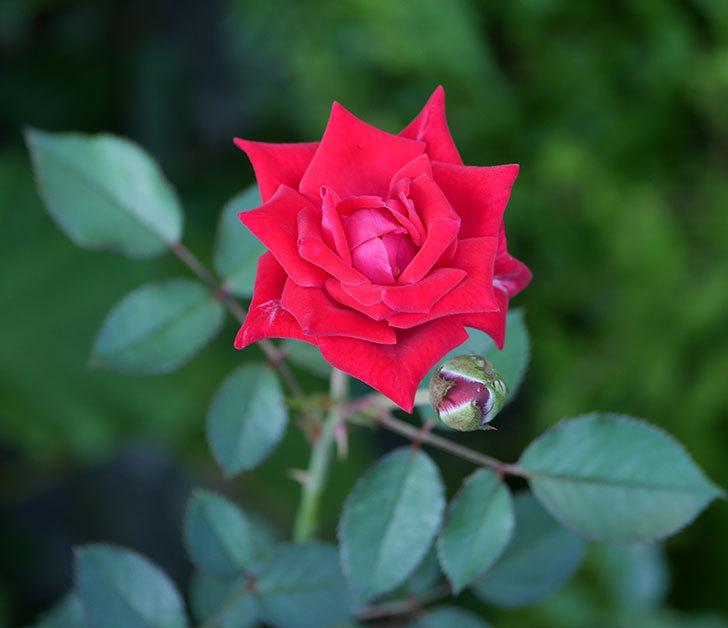 カリエンテ(ミニバラ)の夏花が咲いた。2019年-1.jpg