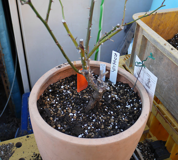 カリエンテ(ミニバラ)の植え替えと冬剪定をした。2018年-6.jpg
