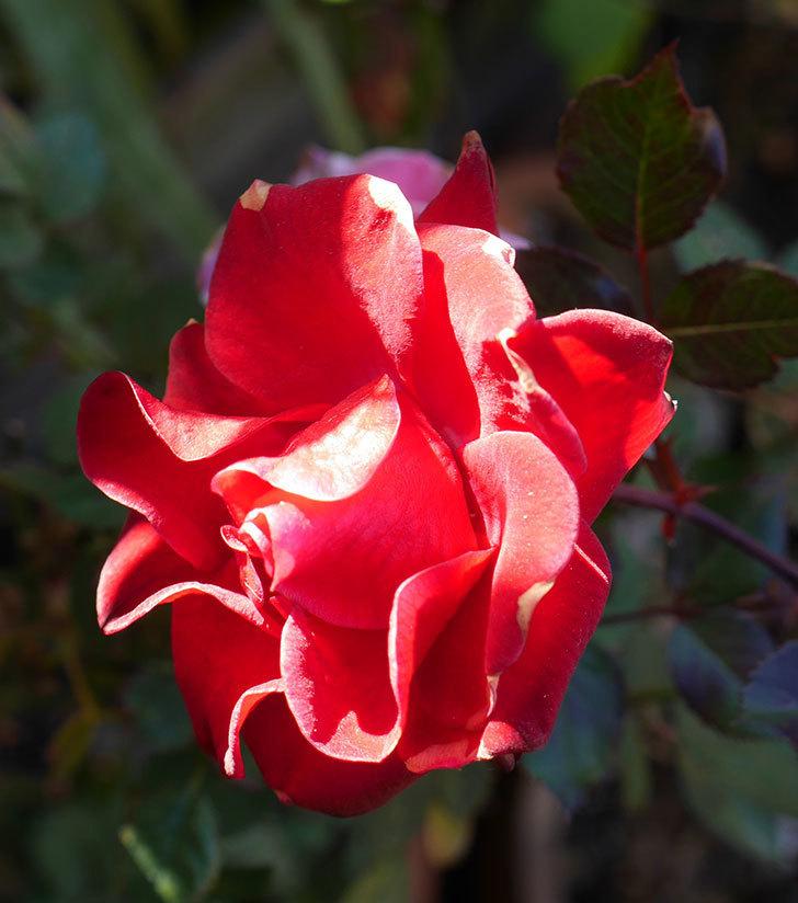 カリエンテ(ミニバラ)の花がまだたくさん咲いている。2019年-10.jpg
