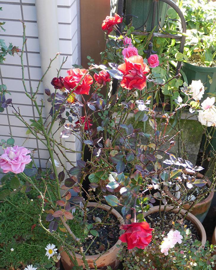 カリエンテ(ミニバラ)の花がまだたくさん咲いている。2019年-11.jpg