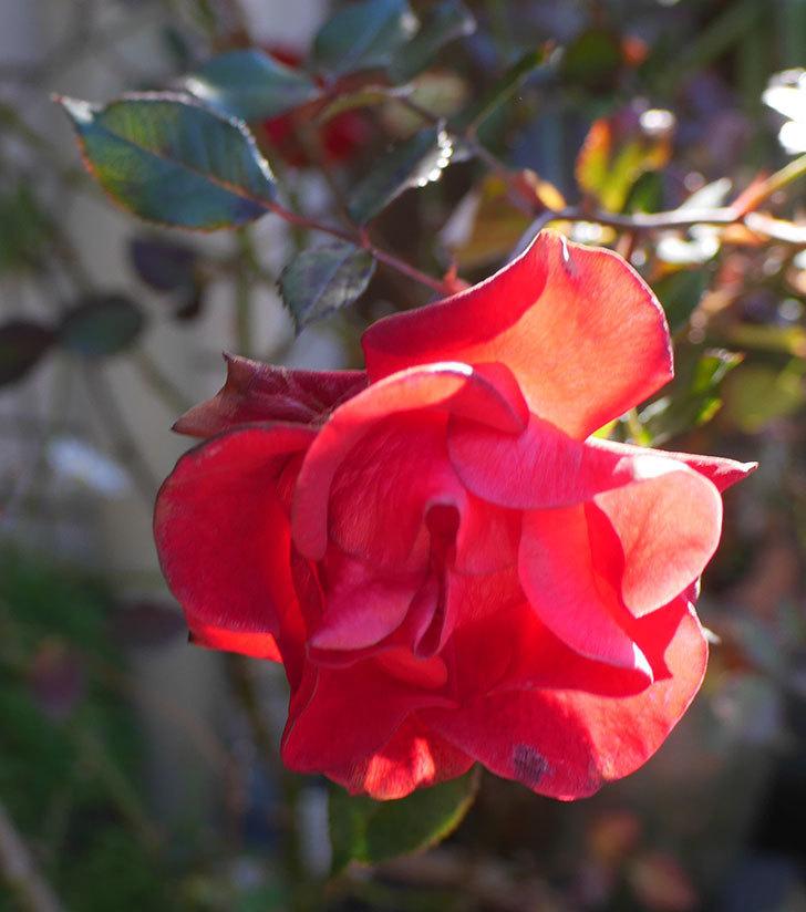 カリエンテ(ミニバラ)の花がまだたくさん咲いている。2019年-3.jpg