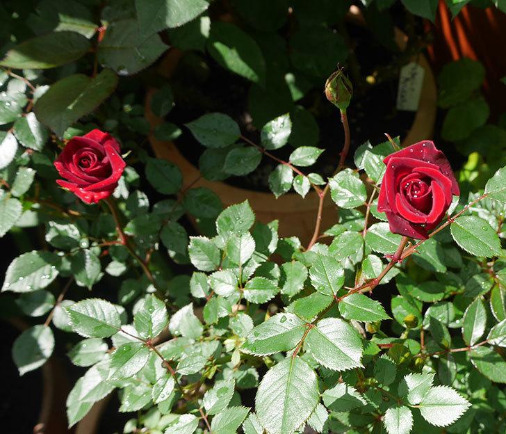 カリエンテ(ミニバラ)の花が咲いた。2018年-3.jpg
