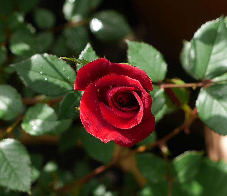 カリエンテ(ミニバラ)の花が咲いた。2018年-5.jpg