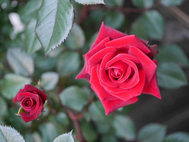 カリエンテ(ミニバラ)の花が増えて来た。2020年-5.jpg
