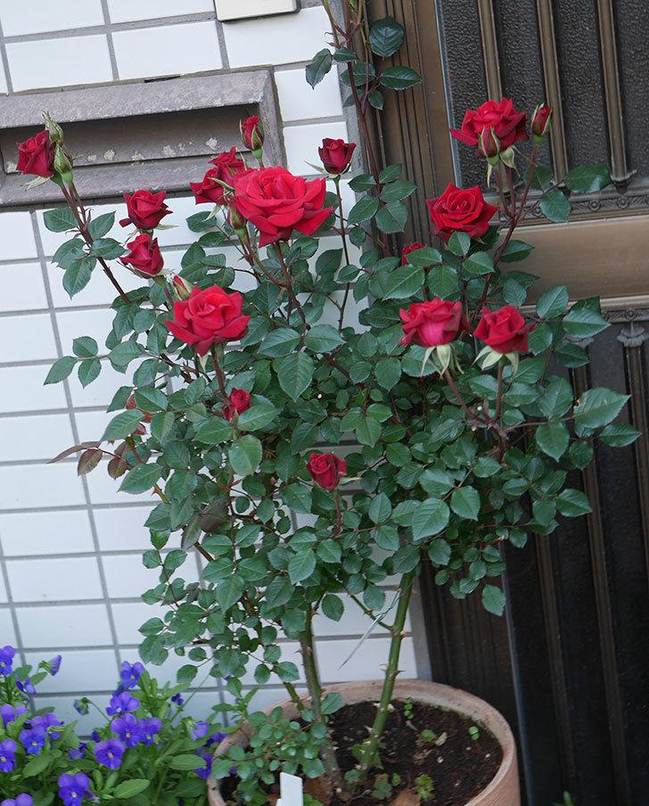 カリエンテ(ミニバラ)の花が増えて来た。2020年-8.jpg
