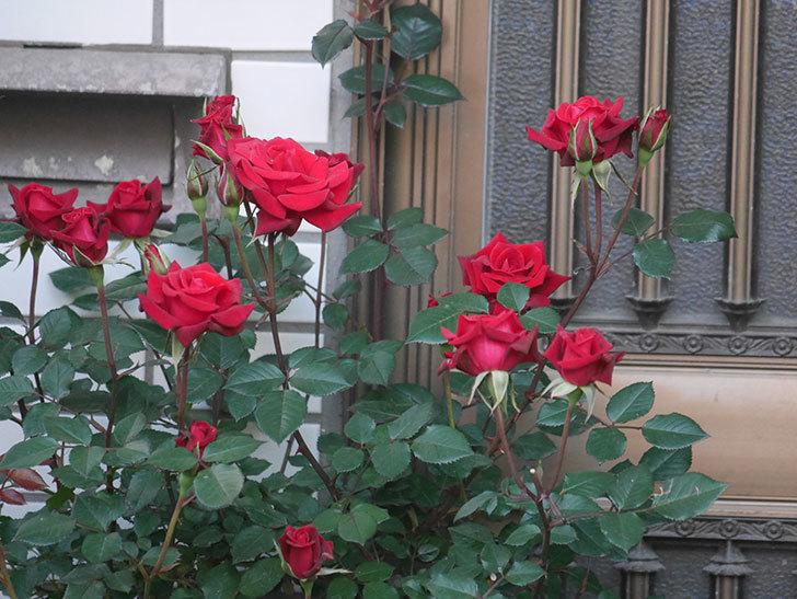 カリエンテ(ミニバラ)の花が増えて来た。2020年-9.jpg