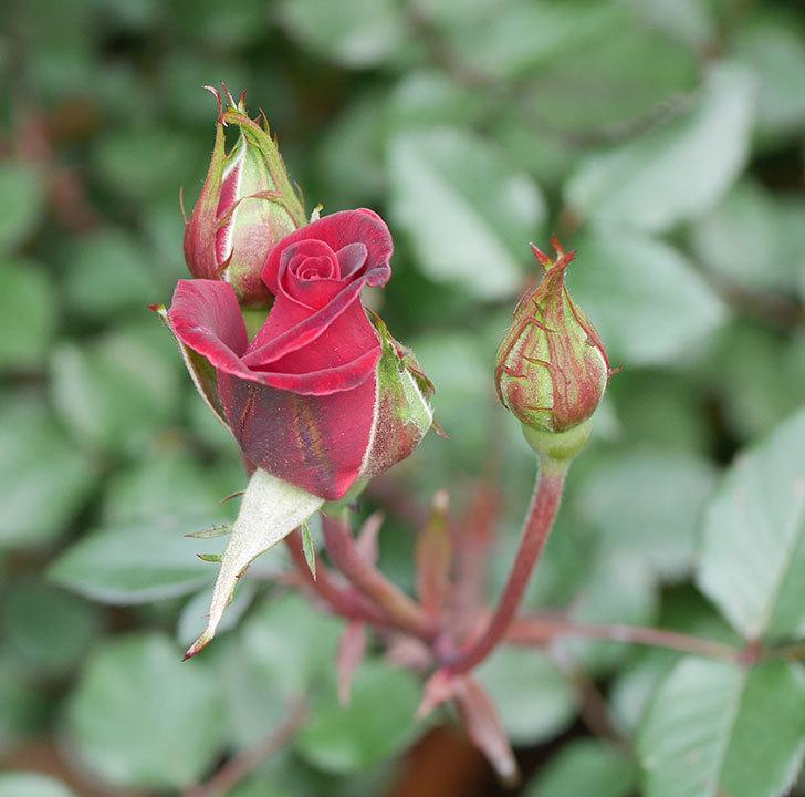 カリエンテ(ミニバラ)の花が少し咲いた。2020年-1.jpg