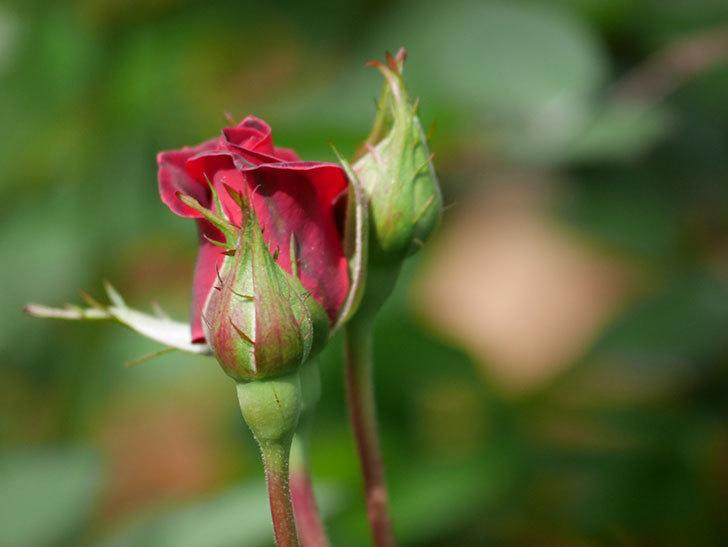 カリエンテ(ミニバラ)の花が少し咲いた。2020年-5.jpg
