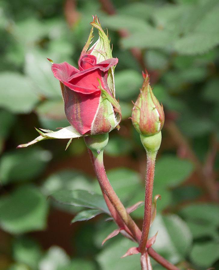 カリエンテ(ミニバラ)の花が少し咲いた。2020年-6.jpg