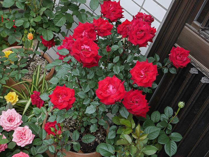 カリエンテ(ミニバラ)の花が満開になった。2019年-5.jpg