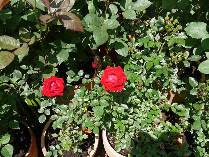 カリエンテ(ミニバラ)の花が綺麗に咲いた。2018年-2.jpg