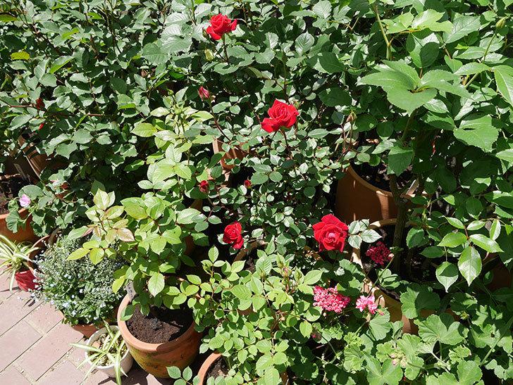 カリエンテ(ミニバラ)の花が綺麗に咲いた。2018年-5.jpg