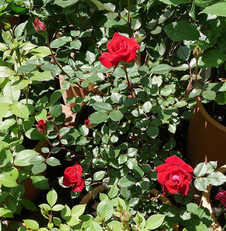カリエンテ(ミニバラ)の花が綺麗に咲いた。2018年-6.jpg