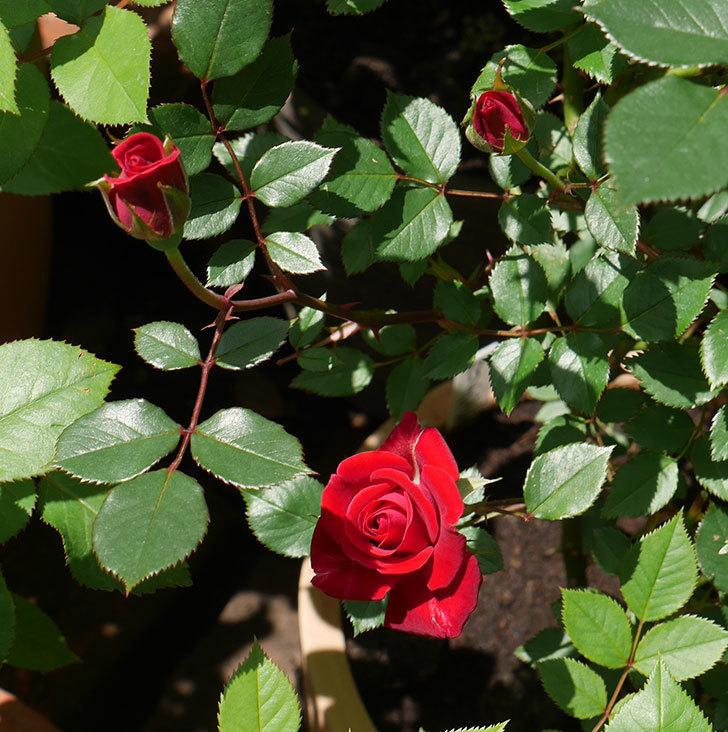 カリエンテ(ミニバラ)の花が綺麗に咲いた。2018年-7.jpg