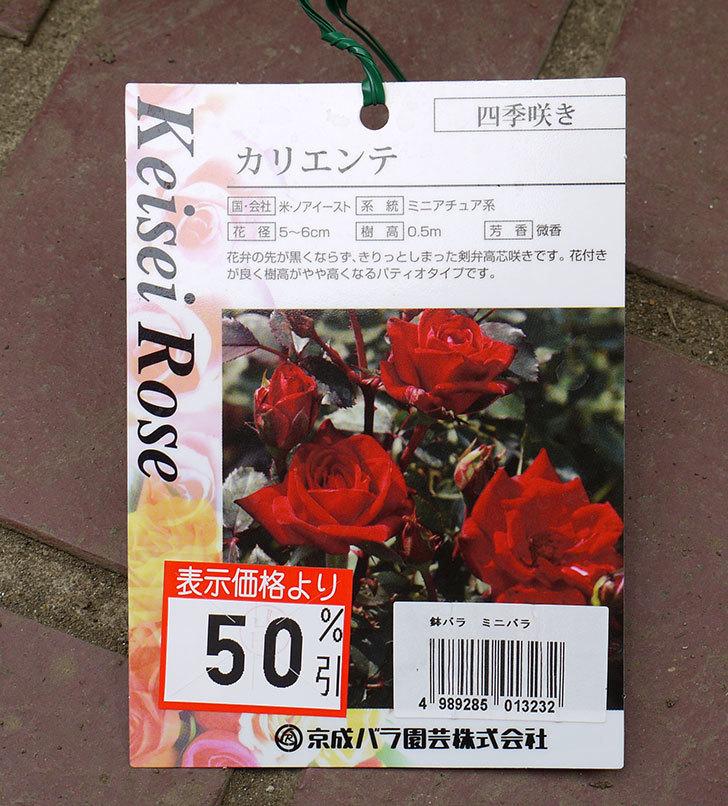 カリエンテ(ミニバラ)の花の終わった開花株買って来た。2016年-3.jpg