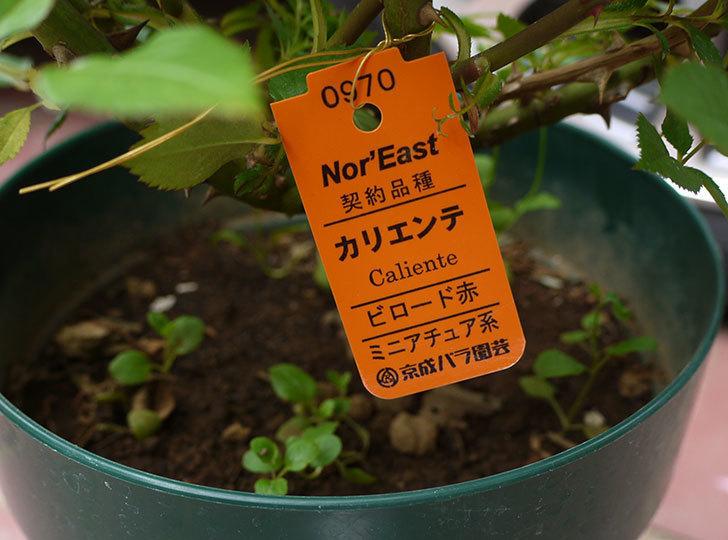 カリエンテ(ミニバラ)の花の終わった開花株買って来た。2016年-4.jpg