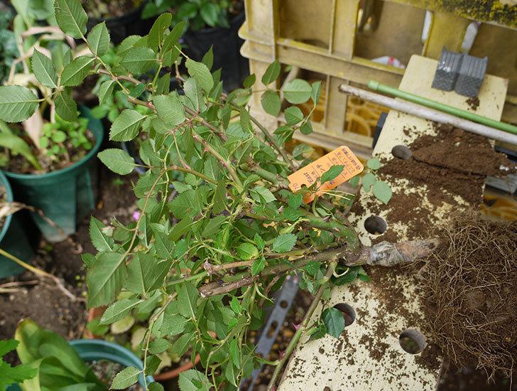 カリエンテ(ミニバラ)の開花株を鉢に植えた。2016年-2.jpg