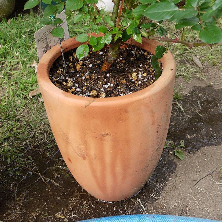 カリエンテ(ミニバラ)の開花株を鉢に植えた。2016年-4.jpg