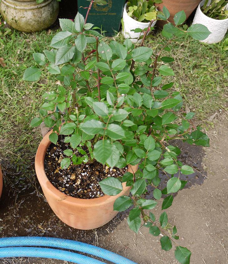 カリエンテ(ミニバラ)の開花株を鉢に植えた。2016年-5.jpg
