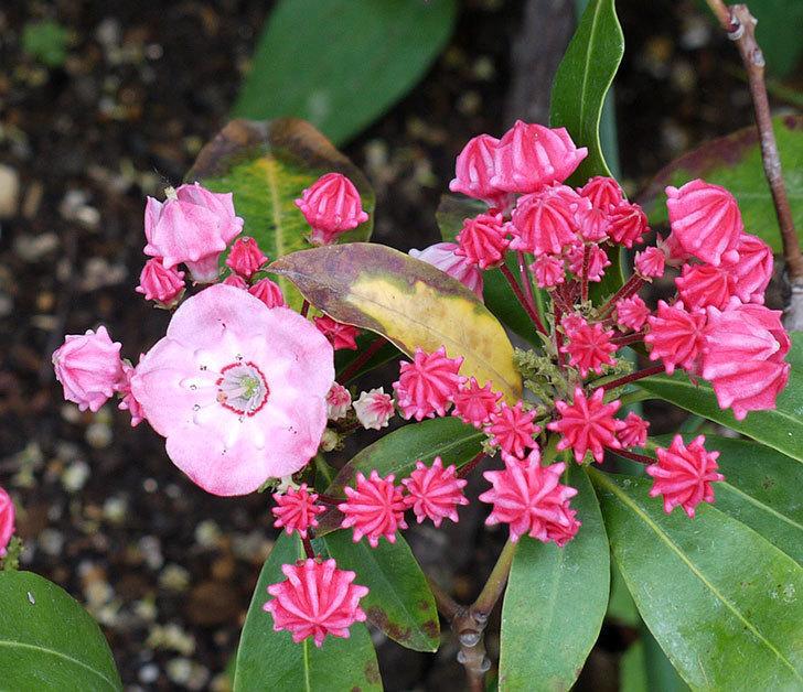 カルミアが咲きだした。2017年-2.jpg