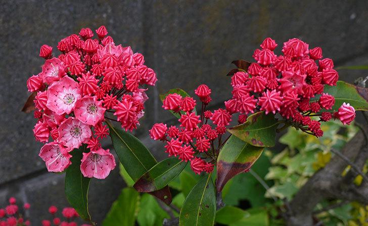 カルミアの花が咲いた1.jpg