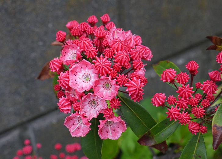 カルミアの花が咲いた2.jpg