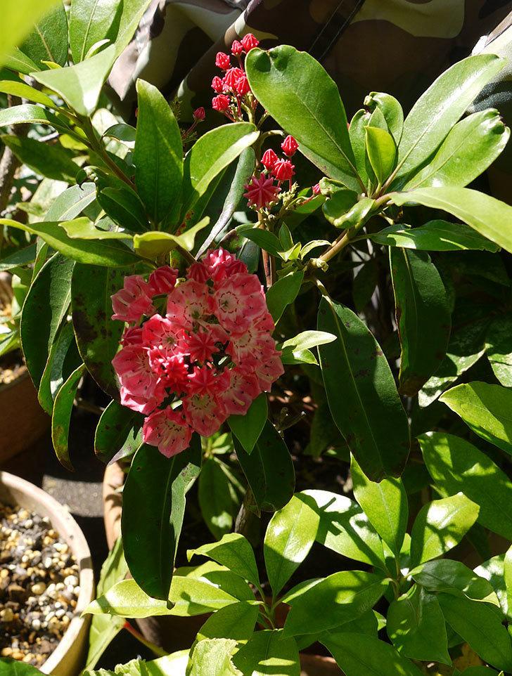 カルミアの花が咲いた。2016年-2.jpg