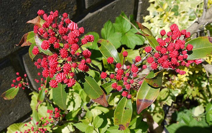 カルミアの花が咲きそう1.jpg