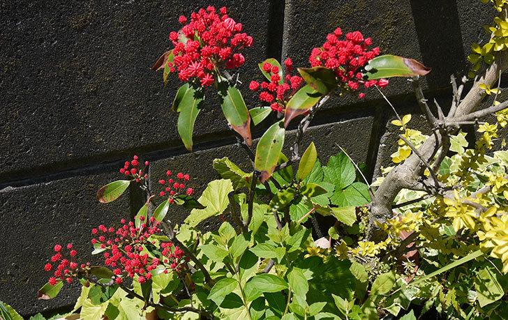 カルミアの花が咲きそう2.jpg