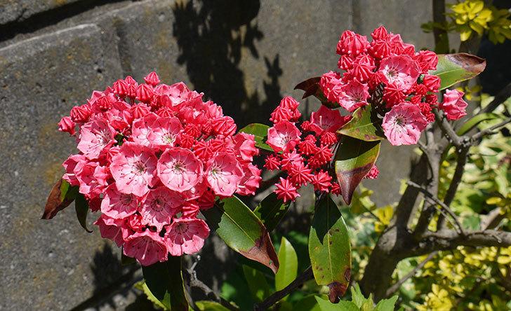 カルミアの花が更に咲いた1.jpg