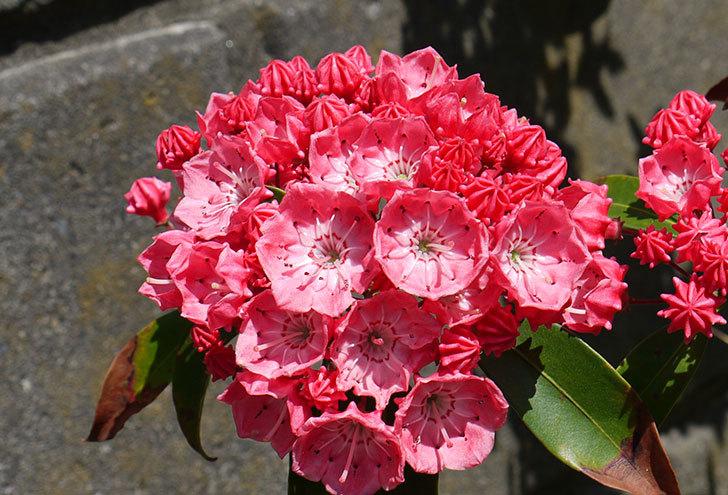 カルミアの花が更に咲いた2.jpg