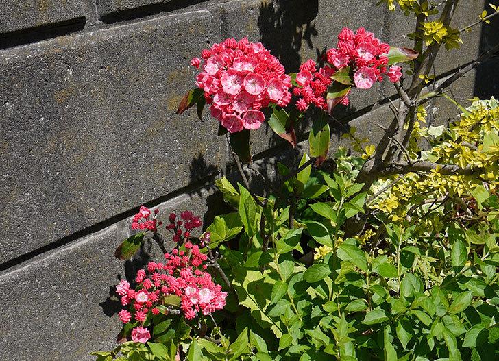 カルミアの花が更に咲いた4.jpg