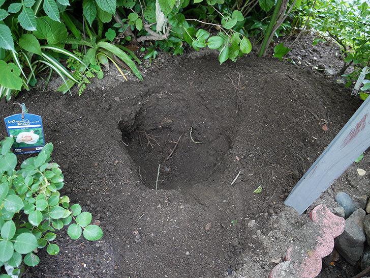 カルミアの鉢植えを地植えした。2016年-5.jpg
