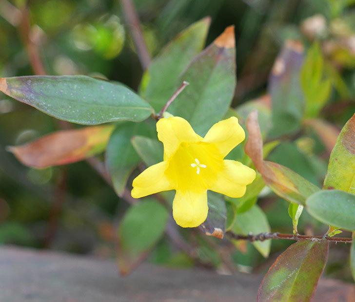 カロライナジャスミンの花が1個咲いた。2018年-1.jpg