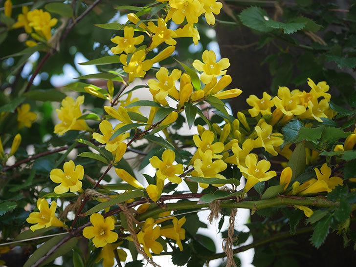 カロライナジャスミンの花がかなり増えて来た。2020年-1.jpg
