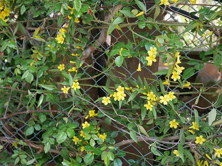 カロライナジャスミンの花がかなり増えて来た。2020年-11.jpg