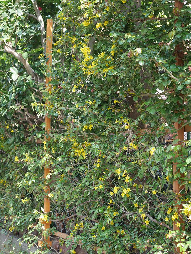 カロライナジャスミンの花がかなり増えて来た。2020年-12.jpg