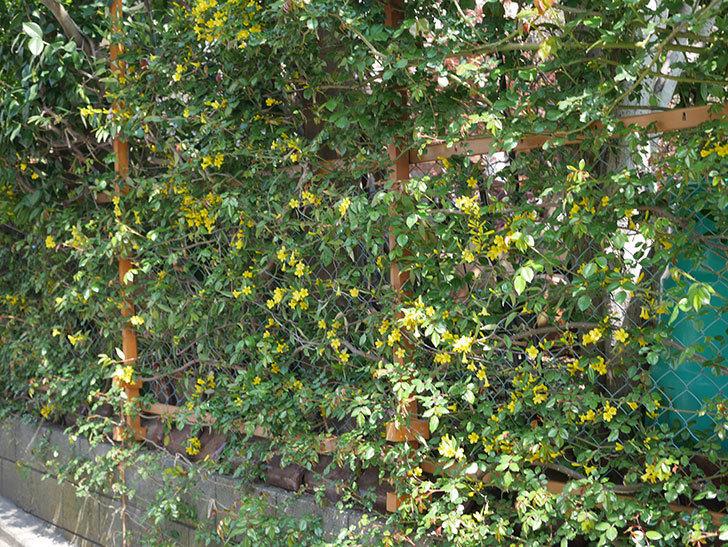 カロライナジャスミンの花がかなり増えて来た。2020年-13.jpg