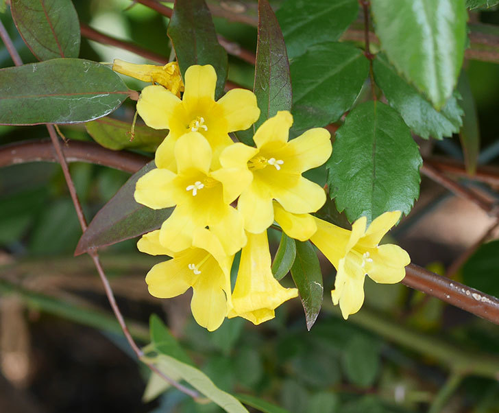 カロライナジャスミンの花がかなり増えて来た。2020年-2.jpg