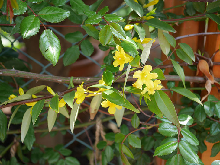 カロライナジャスミンの花がかなり増えて来た。2020年-3.jpg