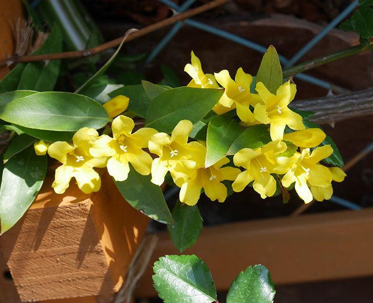 カロライナジャスミンの花がかなり増えて来た。2020年-4.jpg