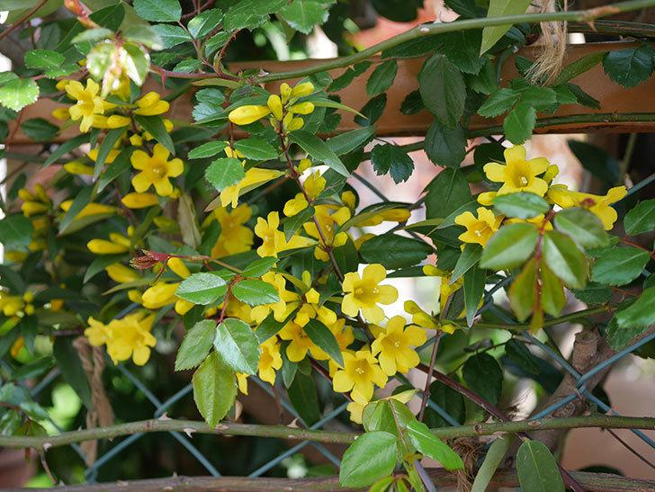 カロライナジャスミンの花がかなり増えて来た。2020年-5.jpg