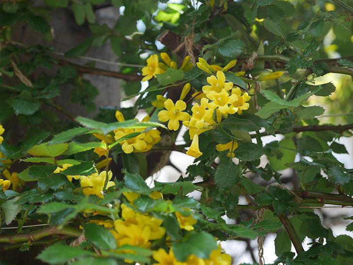 カロライナジャスミンの花がかなり増えて来た。2020年-7.jpg